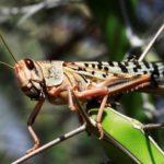 Somalia Declares Locust Plague Emergency, Appeals for Funding